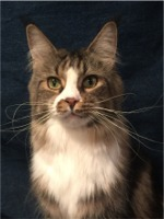 Koontucky Maine Coon Cats And Kittens Located In Michigan