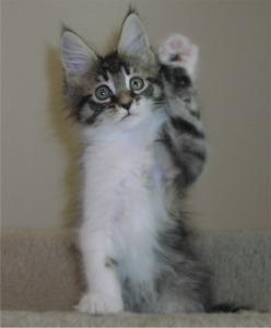 New Maine Coon Kitten ...